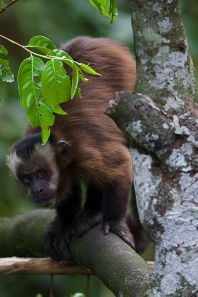 Capuchin3