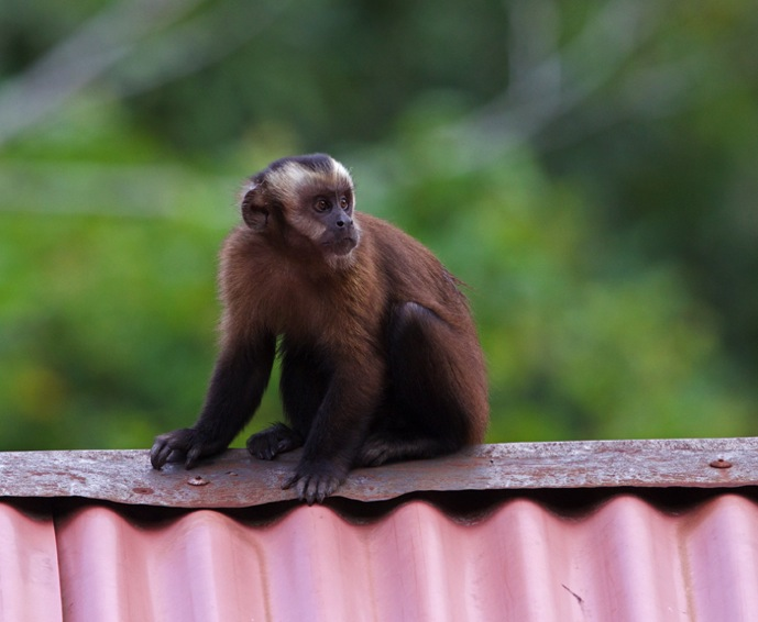 Capuchin4