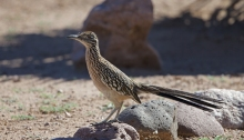 Greater Roadrunner, Tuba, Arizona