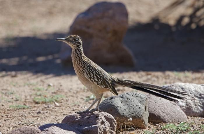 Greater Roadrunner, Tuba, Arizona