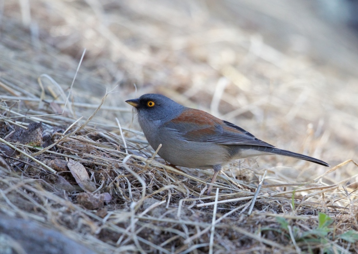 Yellow-eyed Junco, Florida Wash, Southeast Arizona