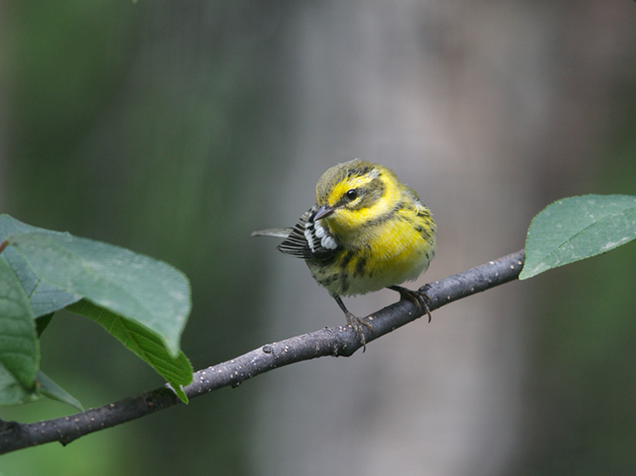 Townsend's Warbler, University Arboretum, Fairbanks