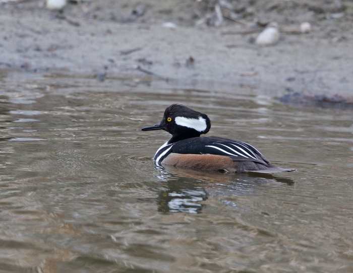 Hooded Merganser Drake, with his hood mostly lowered
