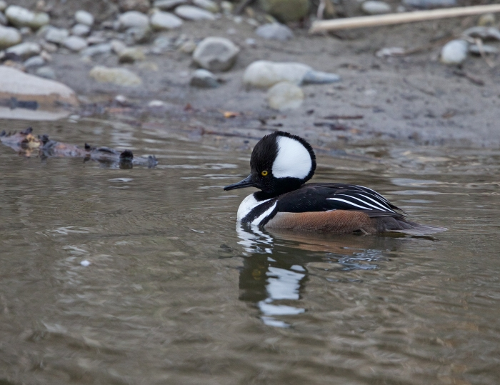 Hooded Merganser Drake, with his hood mostly raised