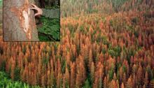 Spruce Bark Beetle Infestation, Kenai Peninsula