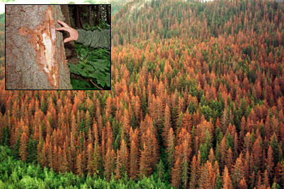 Spruce Bark Beetle Infestation, Kenai Peninsula