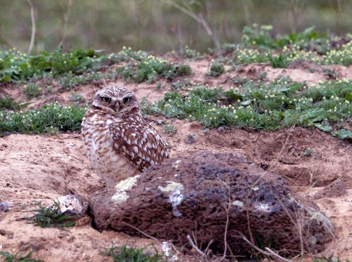 Burrowing Owl, Snake River Plain, Idaho