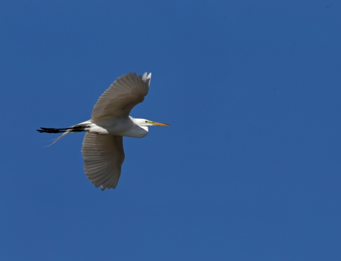 Great Egret in Flight, Benson Pond, Malheur NWR