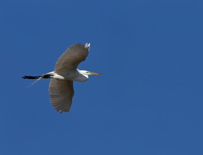 Great Egret in Flight, Benson Pond, Malheur NWR