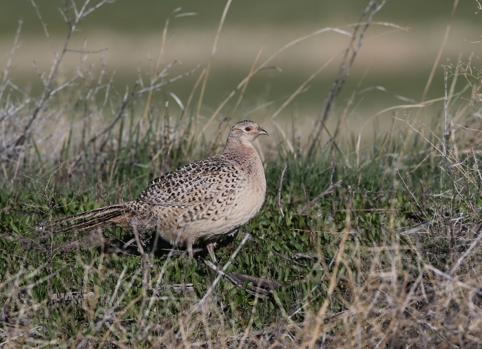Ring-necked Pheasant Hen, Malheur Nat'l Wildlife Refuge