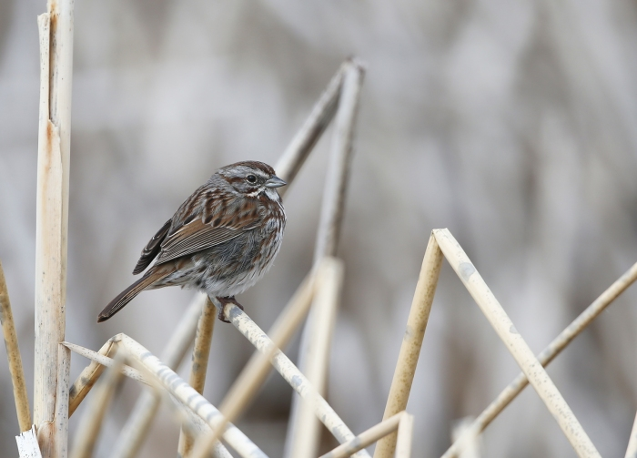 Song Sparrow, Benson Pond, Malheur NWR