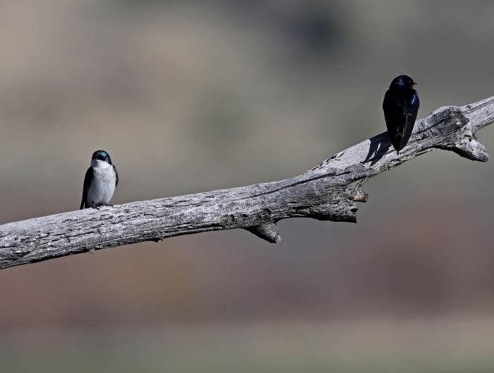 Tree Swallow, Left; Barn Swallow, Right, Benson Pond, Malheur NWR