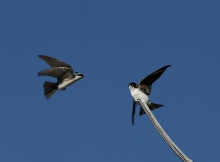 Tree Swallows Squabbling Over a Perch, Benson Pond, Malheur NWR