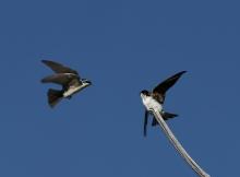 Tree Swallows Squabbling Over a Perch, Benson Pond, Malheur NWR