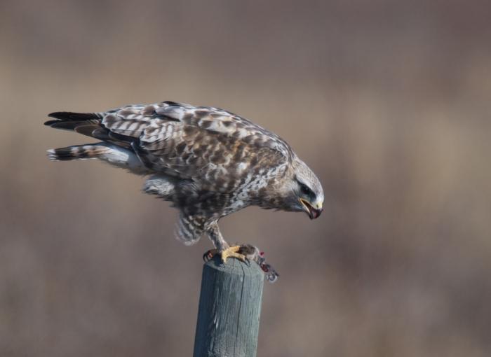 Rough-legged Hawk, Delta Agricultural Project, Alaska