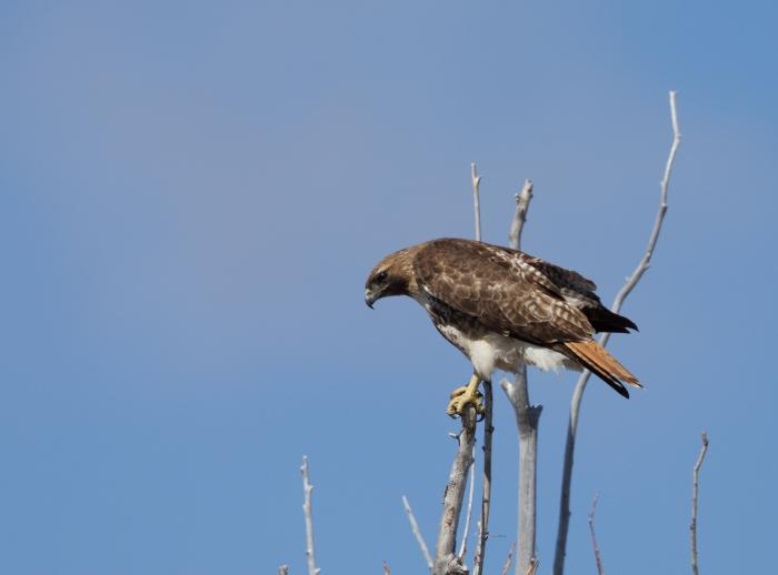 Red-tailed Hawk, Centennial Marsh, Camas Prairie, Idaho