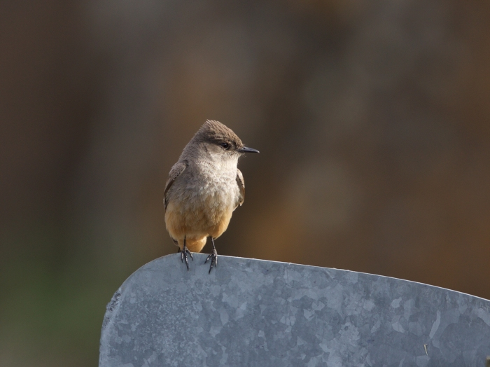 Say's Phoebe, Weiser River Bridge, Weiser River Road, Idaho