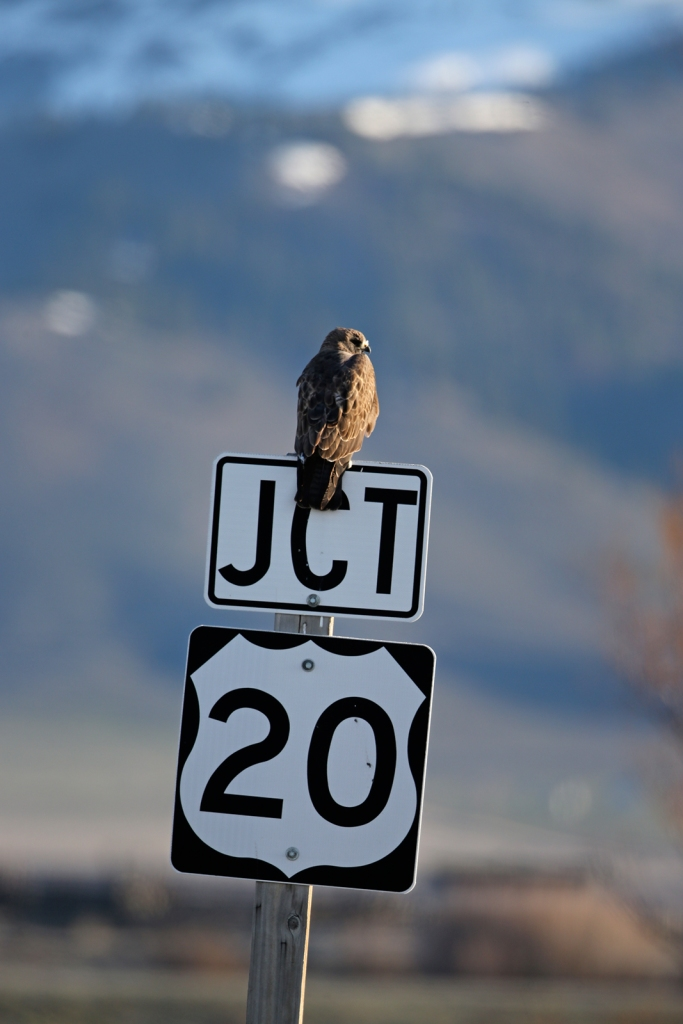 Swainson's Hawk Deciding Where to Go