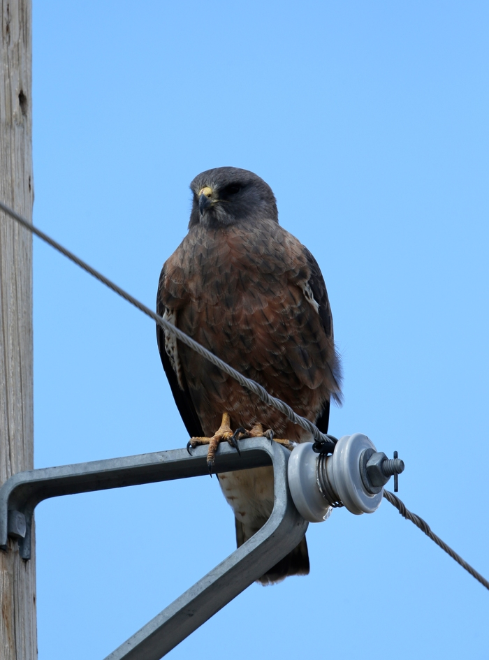 Swainson's Hawk, Centennial Marsh, Camas Prairie, Idaho