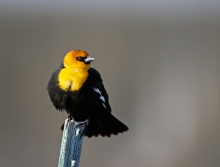 Yellow-headed Blackbird, Centennial Marsh, Camas Prairie, Idaho