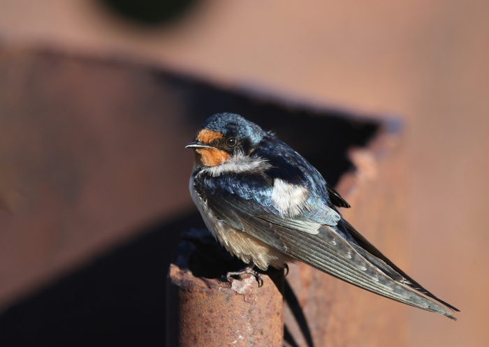 Barn Swallow on steel piling, Center Patrol Road, Malheur NWR