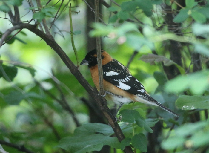 Black-headed Grosbeak, Boise, Idaho