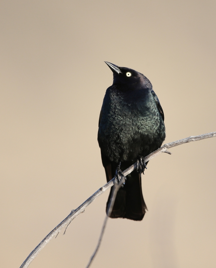 Meet Bryant, a male Brewer's Blackbird