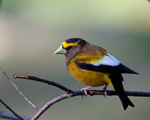 Evening Grosbeak, Payette Lake, Idaho