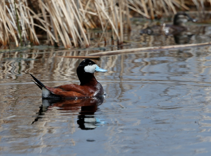 Ruddy Duck Drake, Center Patrol Road, Malhuer NWR