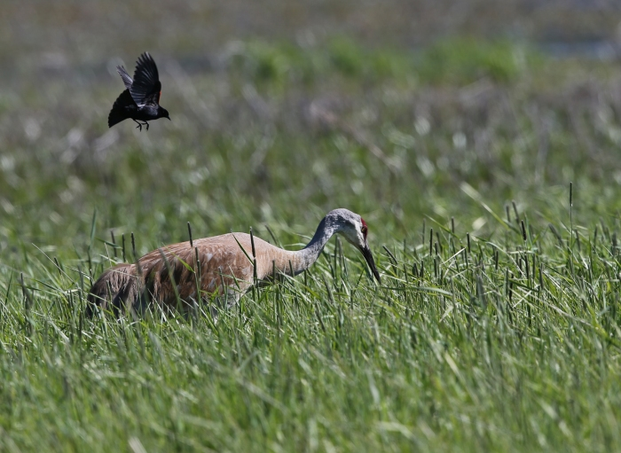 Sandhill Crane foraging, Centennial Marsh