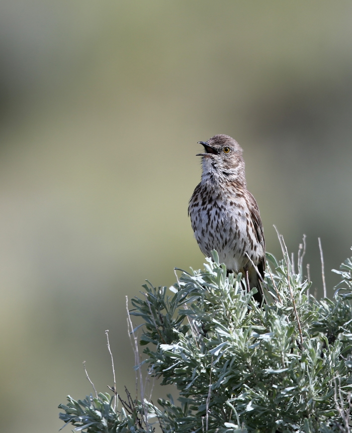 Sage Thrasher on Sagebrush, Peter French Round Barn, Malheur NWR