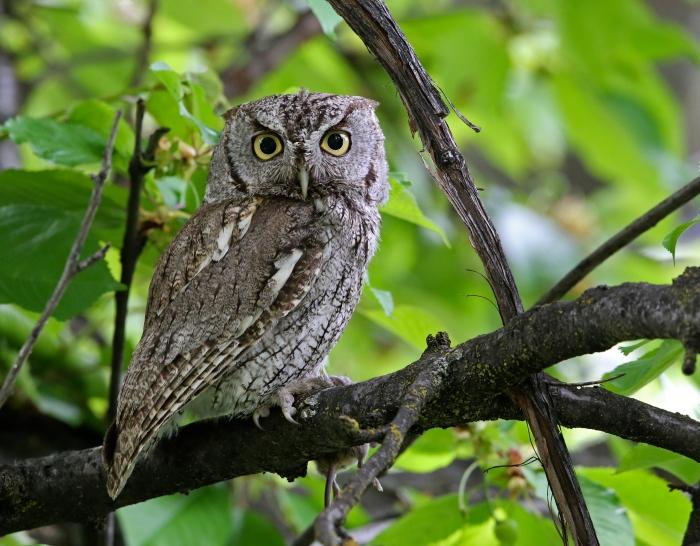 Western Screech Owl, Boise, Idaho