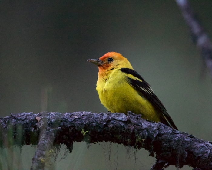 Western Tanager Male, Boise, Idaho