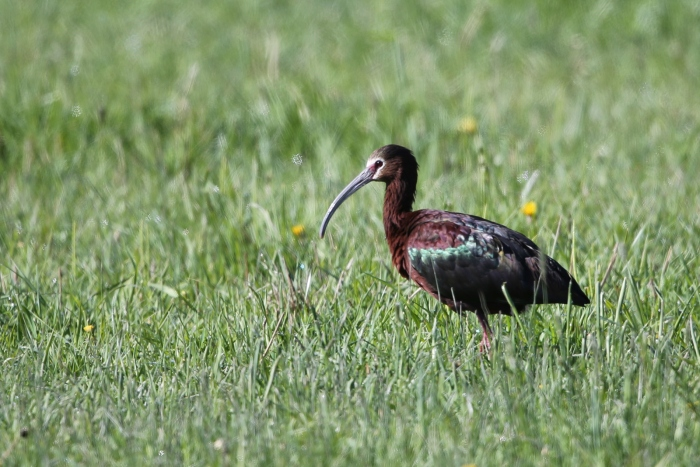 White-faced Ibis, Happy Valley, Harney Basin