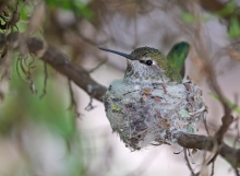 Anna's Hummingbird Female on Nest, Tucson, Arizona