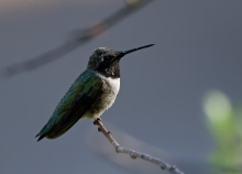 Black-chinned Hummingbird, Payette Lake
