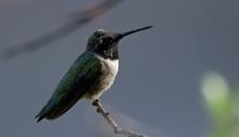 Black-chinned Hummingbird, Payette Lake