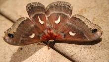 Columbia Silk Moth, Hyalophora columbia, Payette Lake, Idaho