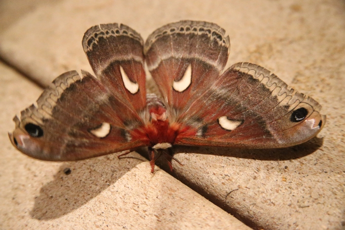 Columbia Silk Moth, Hyalophora columbia, Payette Lake, Idaho