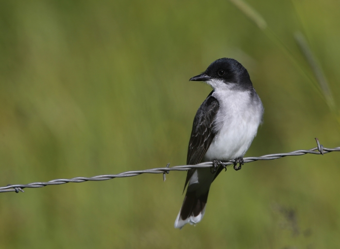 Eastern Kingbird, New Meadows, Idaho