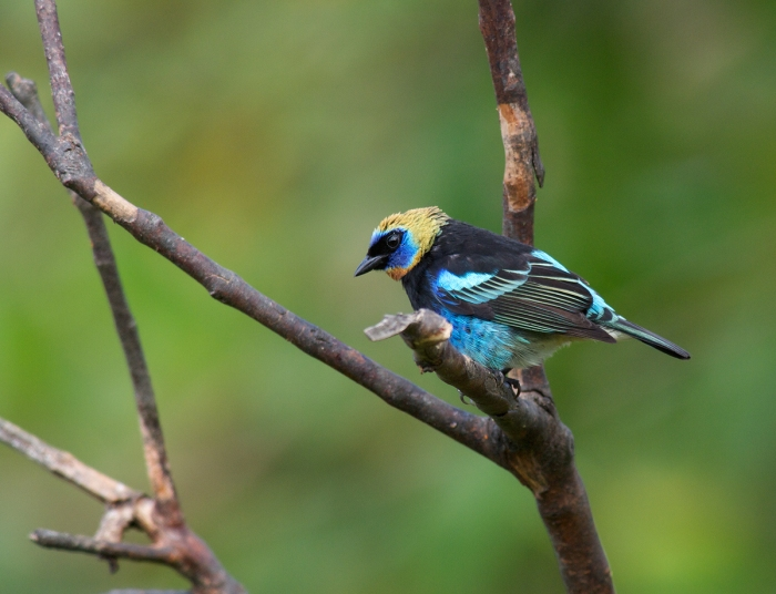 Golden-hooded Tanager, Peru