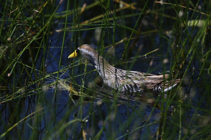 Sora in habitat, Centennial Marsh, Idaho