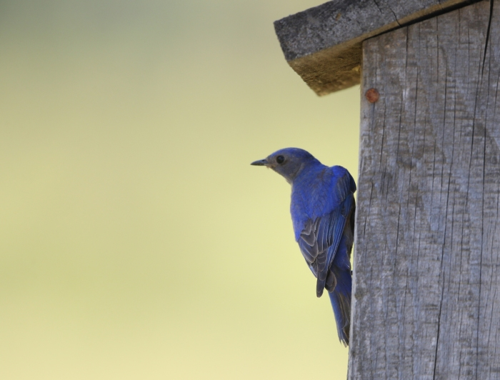 Western Bluebird Male, New Meadows, Idaho
