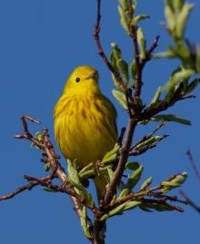 Yellow Warbler, Creamer's Refuge, Fairbanks