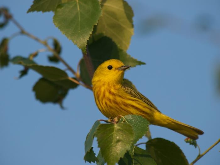 Yellow Warbler, Dalton Highway, Alaska