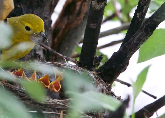 Yellow Warbler Feeding Chicks, Denali Highway, Alaska