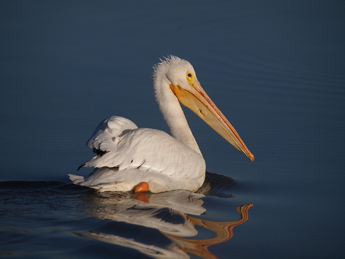 American White Pelican, Thousand Springs, Idaho