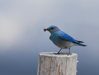 Mountain Bluebird, Weiser, Idaho