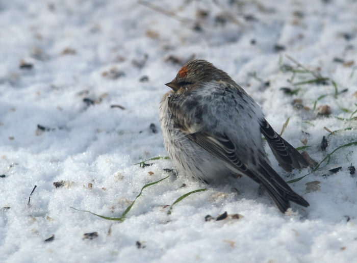 Hatch year Common Redpoll in late spring snow, Fairbanks, Alaska