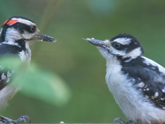 Hairy Woodpecker juvenile being fed by parent, Fairbanks, Alaska